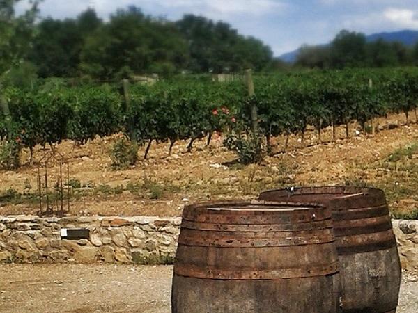 Weinanbau auf La Vinyeta - Weinstock La vinyeta costa Brava
