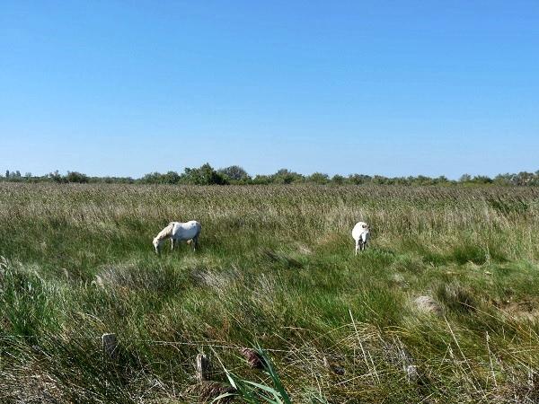 Camargue weiße Pferde Provence