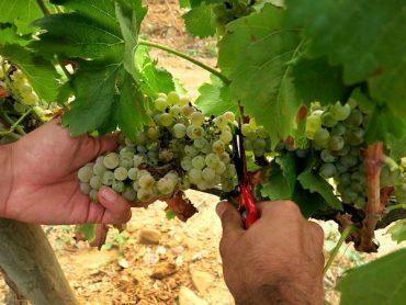 La Verema - Weinlese auf altmodische Art 7