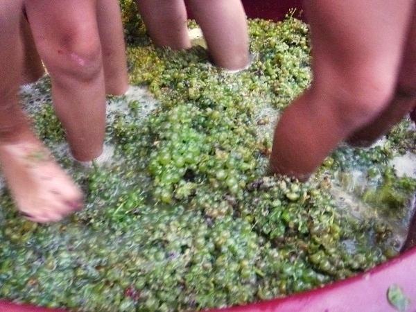 Weinlese Weintrauben treten La Verema La Vinyeta Costa Brava