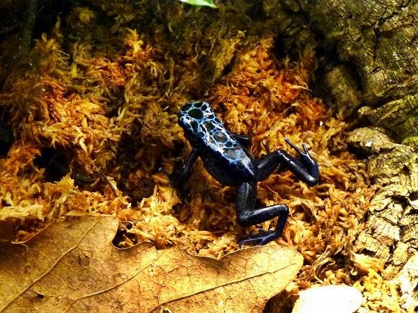 Dendrobates azureus Blauer Pfeilgiftfrosch