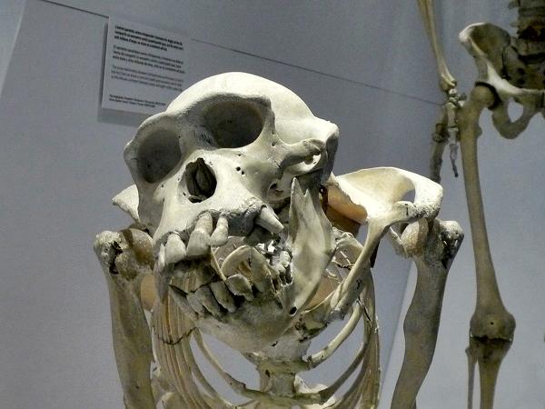 Knochen Museu Blau Barcelona