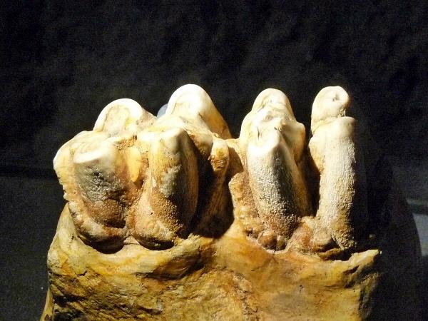 Museu blau Barcelona Fossile Zähne