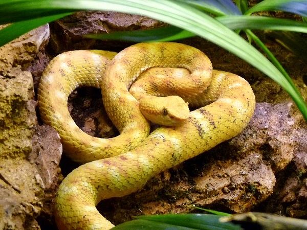 giftig Schlange (Crotalus polystictus) - Mexikanische Lanzenkopf-Klapperschlange