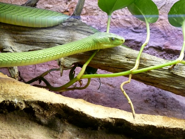 Giftschlange (Dendroaspis viridis) Grüne Mamba