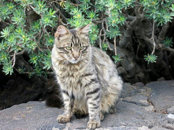 Lanzarote Katze vor der Cueva de los verdes