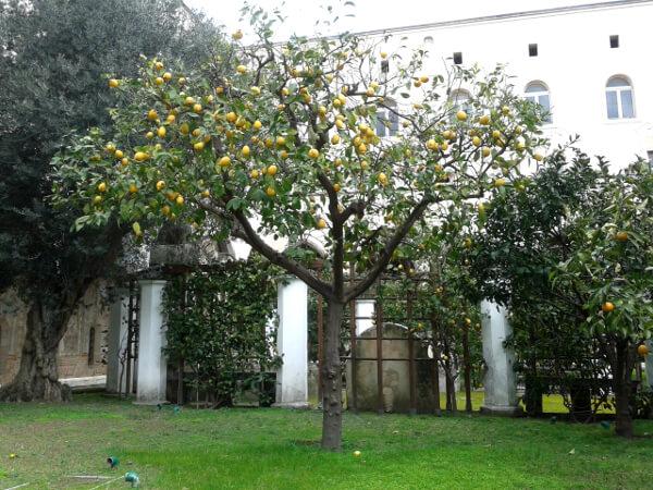 Zitronen Kloster Santa Chiara Neapel