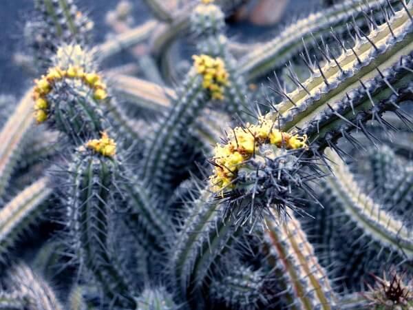 kaktusgarten jardin de cactus lanzarote
