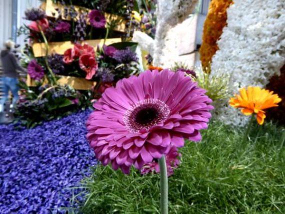 Der Duft der Hyazinthen: Drei Tage Blumenkorso 1