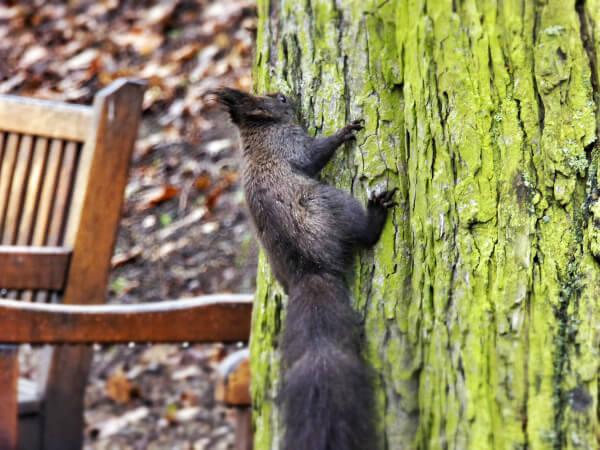 Brno eichhörnchen