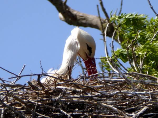 Storch im Nest Aiguamolls