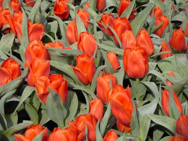 Tulpen tulpenblüte Keukenhof