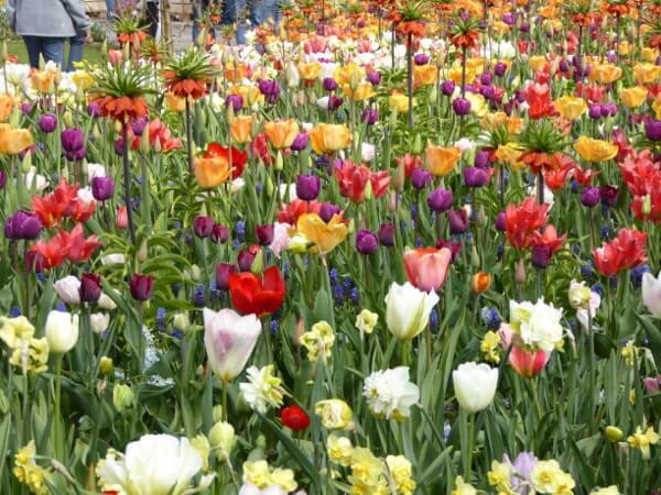 bunte tulpenwiese bunte blumenwiese tulpenblüte im keukenhof