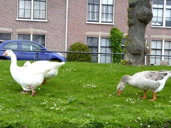 gänse in Leiden am Ufer