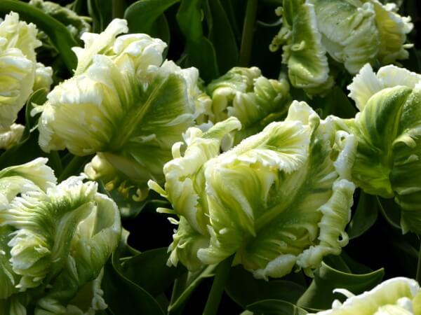 lustige tulpen Holland