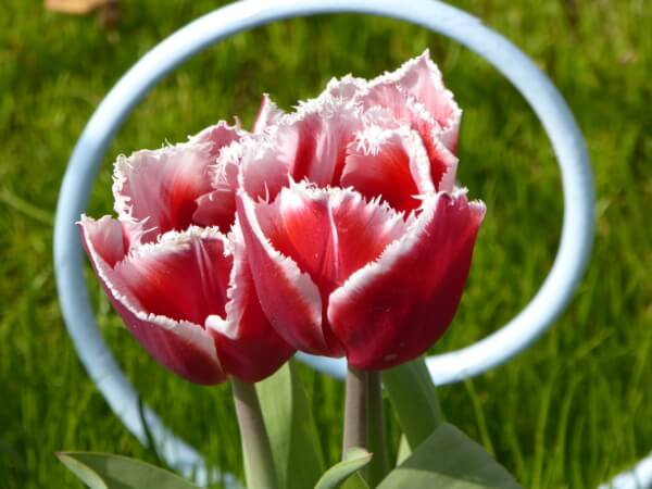 neue züchtung keukenhof tulpenblüte in holland