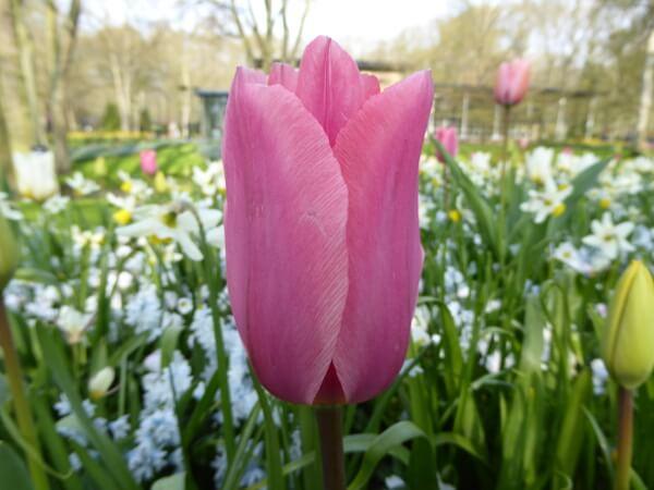 rosa tulpe tulpenblüte holland