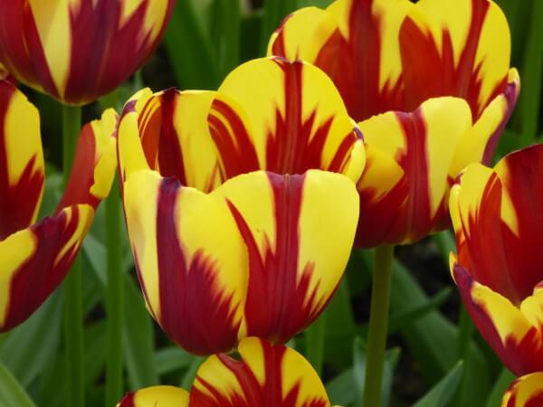 rot gelbe tulpe holland blüte