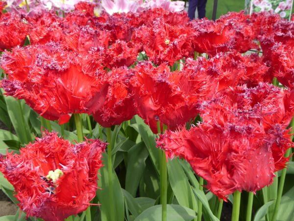 rote ausgefranste tulpen Keukenhof Tulpenblüte in holland