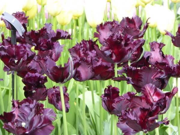 tulpen in holland neue züchtungen keukenhof