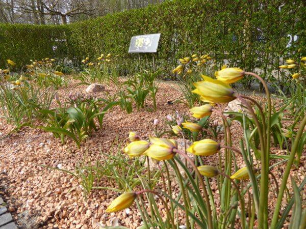 wilde tulpen holland historischer garten keukenhof