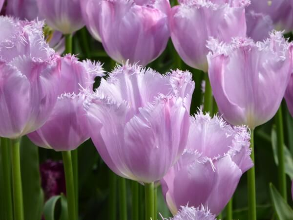 zarte lila tulpen tulpenblüte in holland