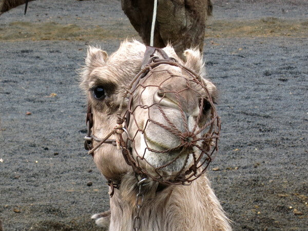 kamele Lanzarote