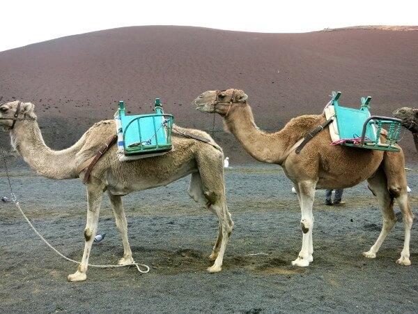 kamelreiten Lanzarote