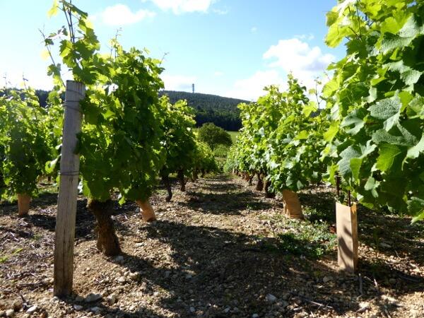 Sancerre Wein Weinreben Boden