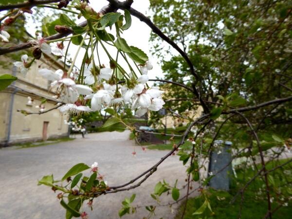 Sumenlinna Blüten und Kanonen