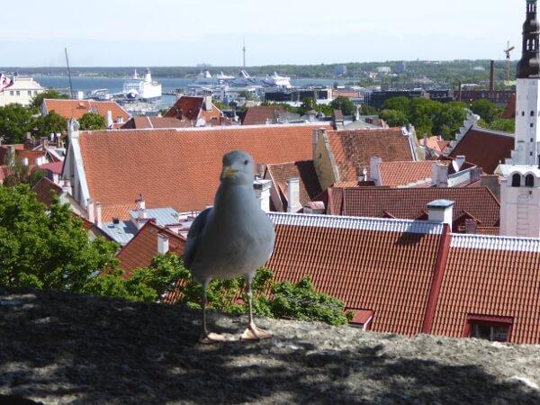 Tallinn Tipps Aussicht mit Möwe