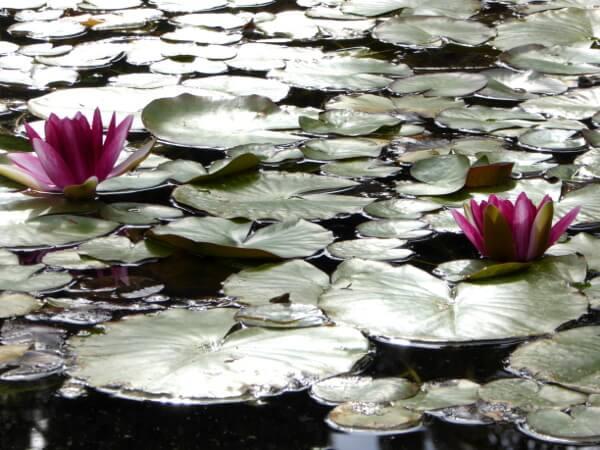 Teich lotusblüten Hotel Mallorca