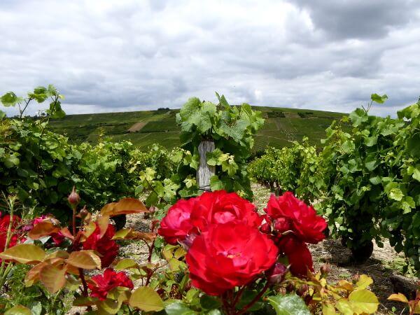 Weinstöcke der Sancerre Weine
