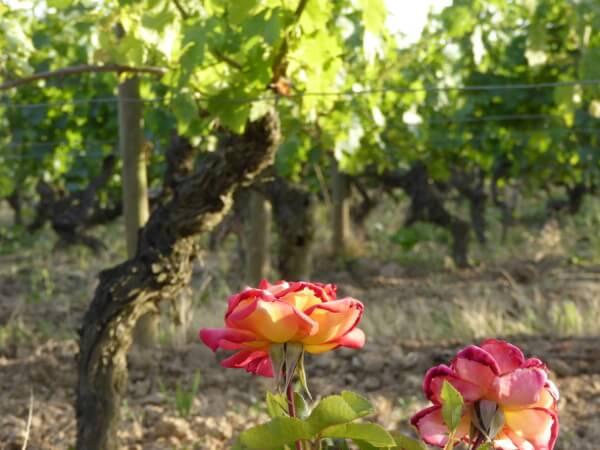 savennieres Weinstock bei Bouchemaine