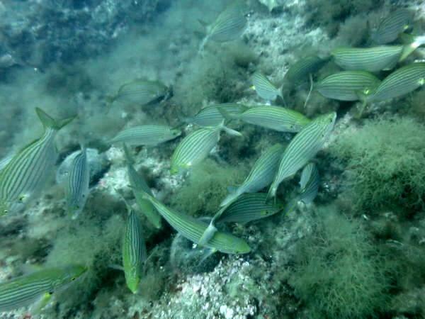 tauchen in Palafrugell fische