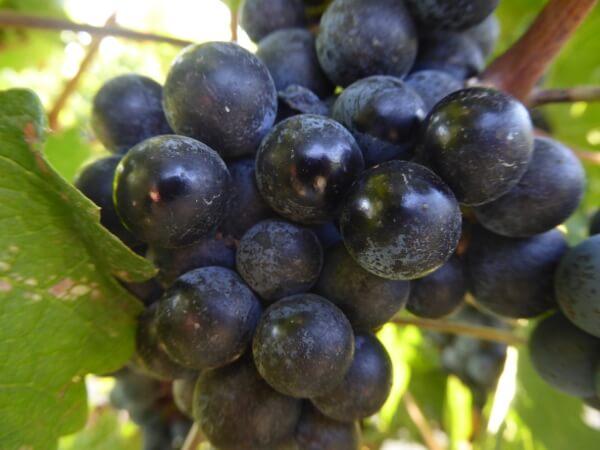 Weine der Emilia Romagna Weintrauben