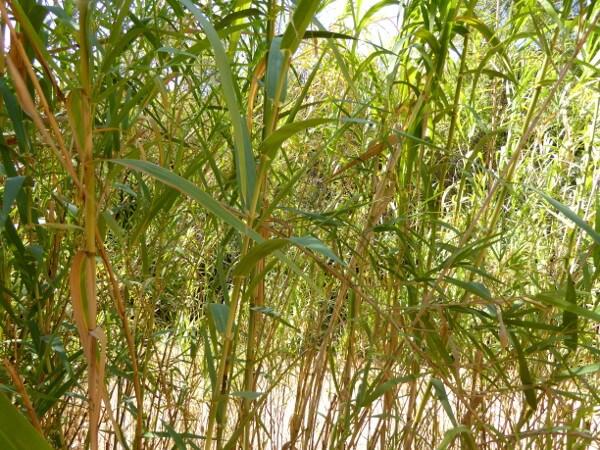 Bambus querença