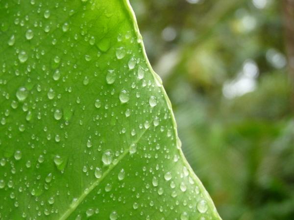 Bastimentos Regen blatt
