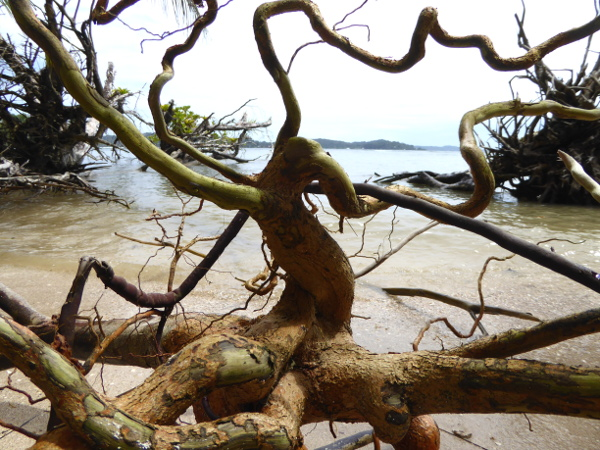 Isla Carenero Bocas del Toro wurzeln