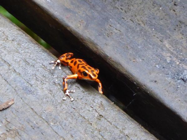 Red Frog Erdbeerfrosch Bastimentos