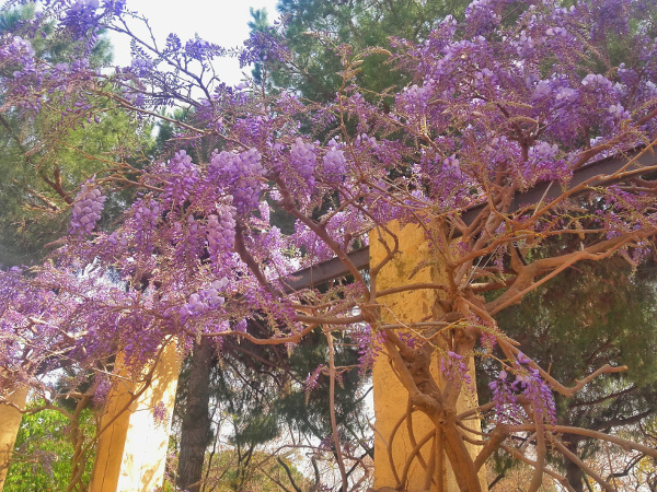 Blühten Labyrinth von Horta