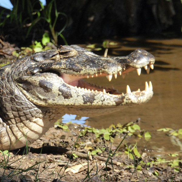 Kaiman Mato Grosso Brasilien