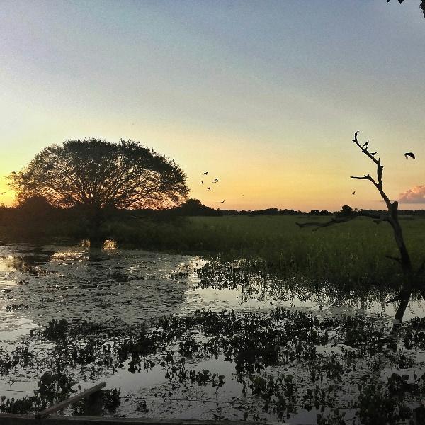 feigenbaum mato grosso Brasilien