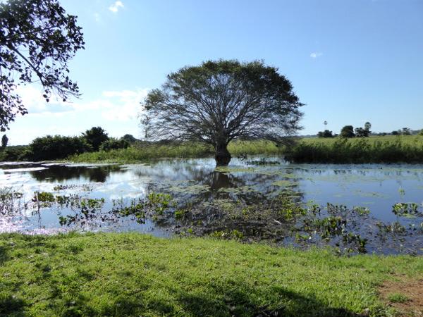 feigenbaum araras ecolodge pantanal brasilien