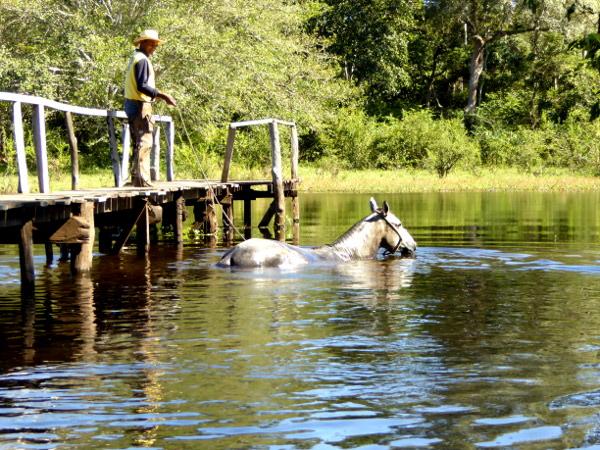 pantanal pferde schwimmen