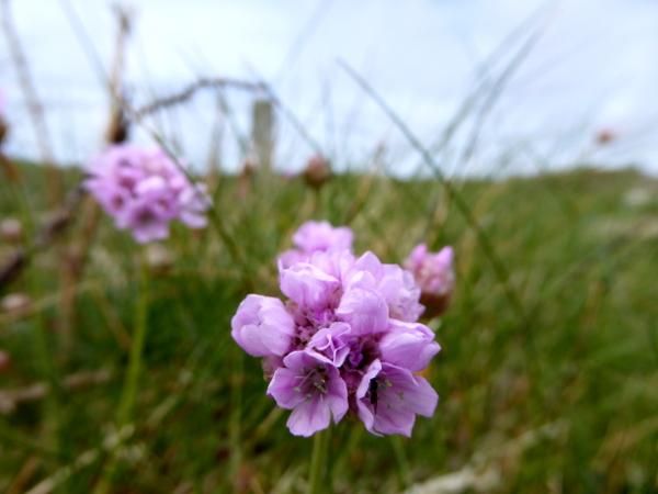 rosa Blume costal path st davids wales wanderweg kueste