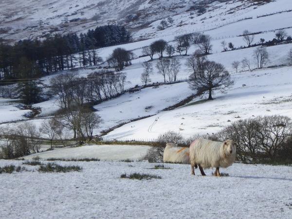 snowdonia Wales schaf im schnee