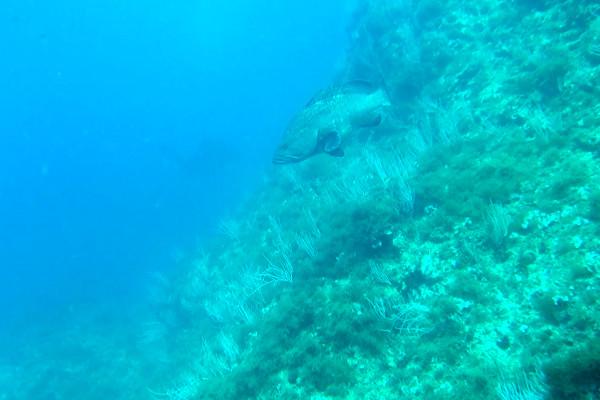 Islas Medas Tauchen zackenbarsch