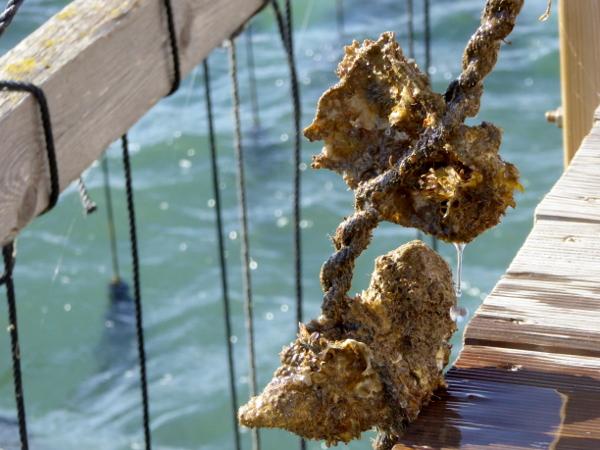 Musclarium Muscheln Ebrodelta Freibeuter reisen Austern