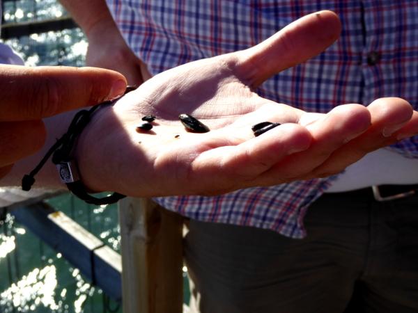 Musclarium Muscheln Ebrodelta Freibeuter reisen wenige Tage alte Muscheln